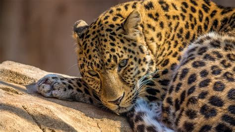 full hd wallpaper leopard predator dangerous close