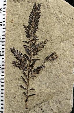 Metasequoia branchlet 02