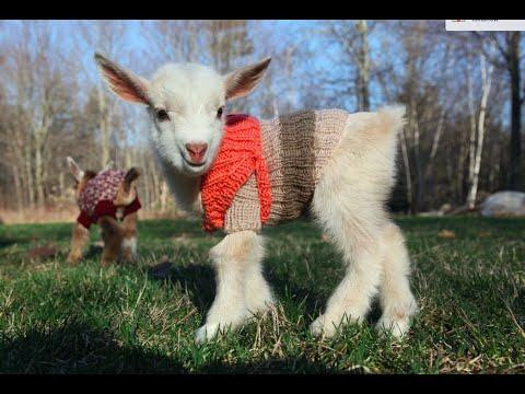 Baby Goats Delight in Their New Sweaters