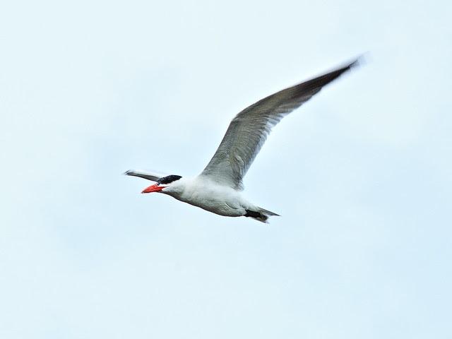 Caspian Tern in flight 20130812