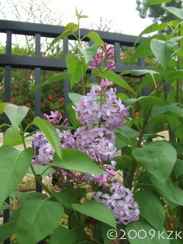 """""""Skidmore"""" Lilacs"""