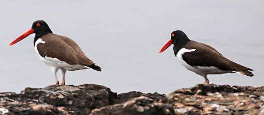 The Blizzard and the American Oystercatcher Valentine