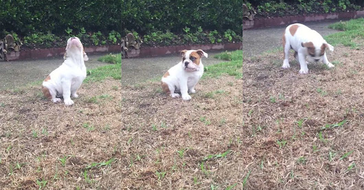 Adorable English bulldog puppy is utterly confused with the concept of rain