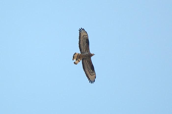 European hunny-buzzard   Σφηκιαρης
