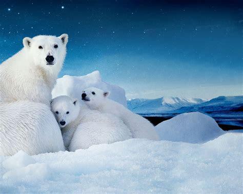 white polar bear   cubs small desktop wallpaper