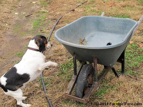 Determined Beagle Bert 2 - FarmgirlFare.com