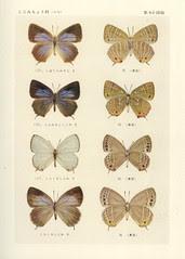 papillon 40