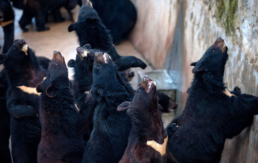 Chinese Bear Bile Farming Draws Charges of Cruelty