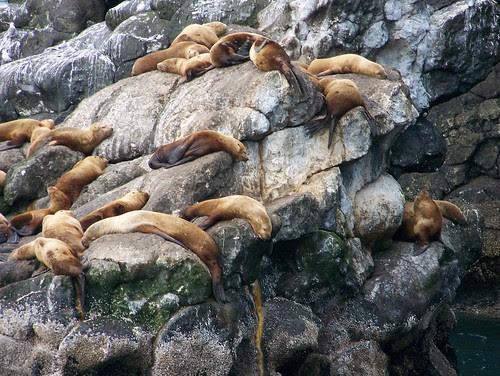 100_0419-Stellar Sea Lions-Kenai Fjords NP with Renown Tours