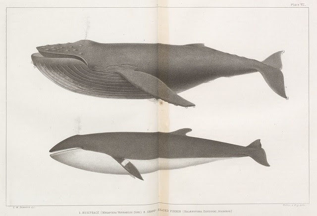 1. Humpback (Megaptera versabilis Cope.) 2. Sharp-headed Finner (Balaenoptera davidsoni.Scammon.)