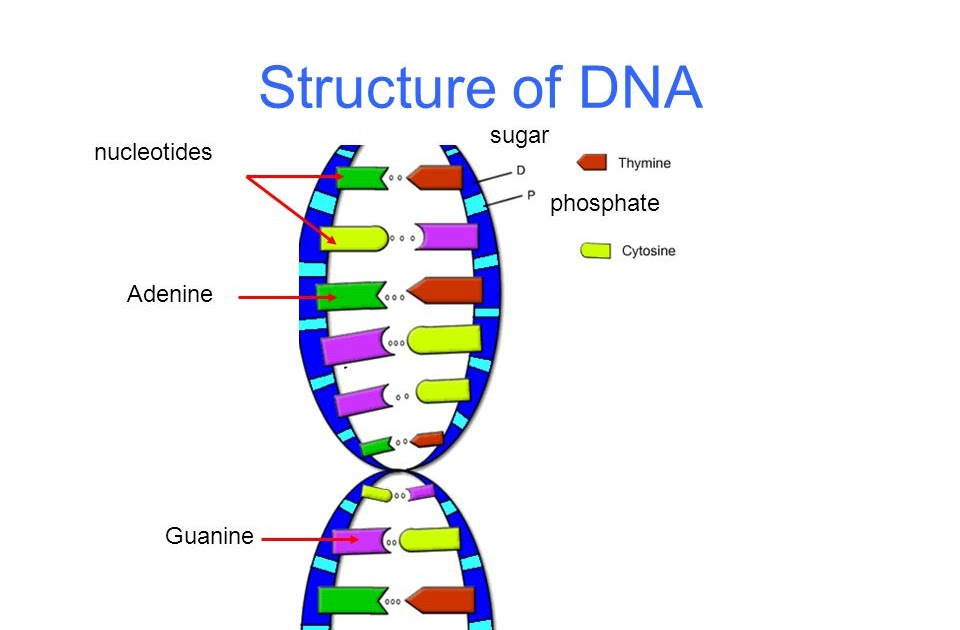 31 Sketch And Label A Dna Nucleotide