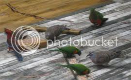 Rosella, King parrot, Lorikeets, Bronzewing