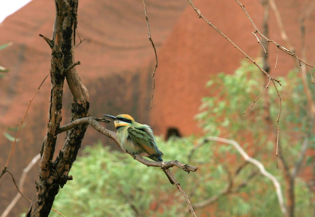 Rainbow Bee-eater, Merops ornatus