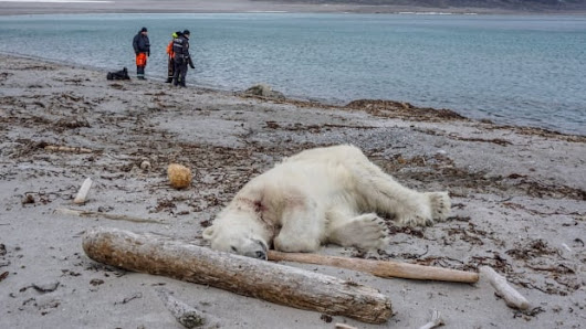Arctic cruise ship guard kills polar bear 'in an act of self-defence' | CBC News