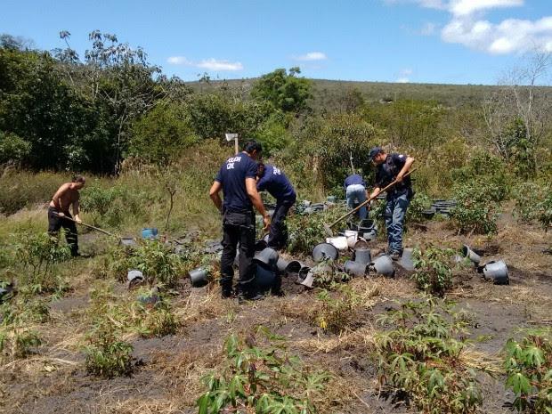Plantação de maconha é detsruída em Ibicoara (Foto: Divulgação/Pol[ícia Civil)