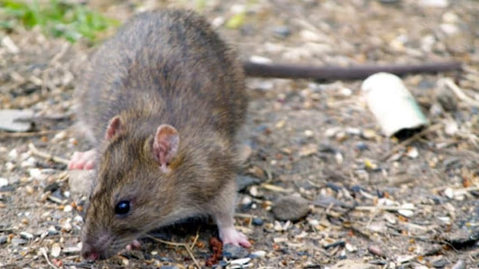 Sydney neighbourhood losing battle with large, aggressive rats