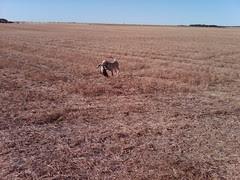This is Jill in Saskatchewan retrieving geese.