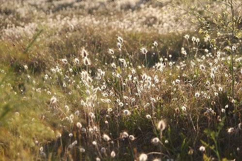 Golden field of Brignogan