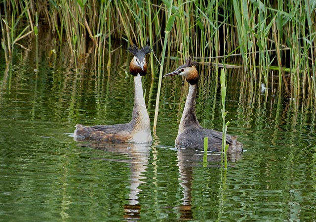 27525 - Great Crested Grebes, WWT London