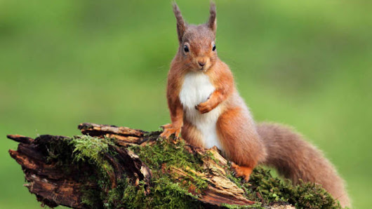 Red Squirrels In The UK Are Infected By Human Leprosy