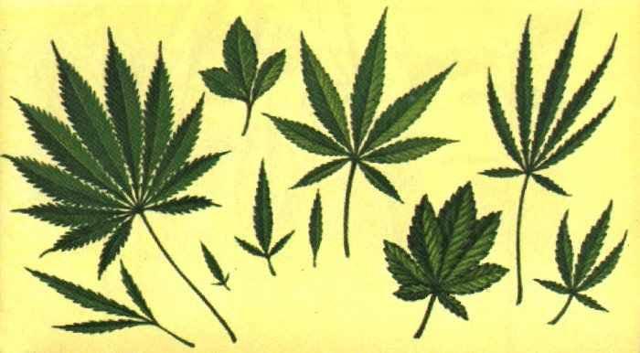 Rośliny Halucynogenne