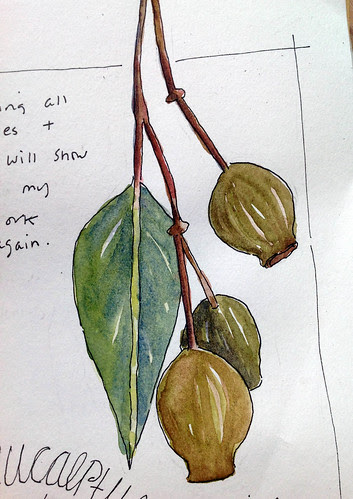 eucalyptus and pods