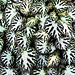 begonia leafscape