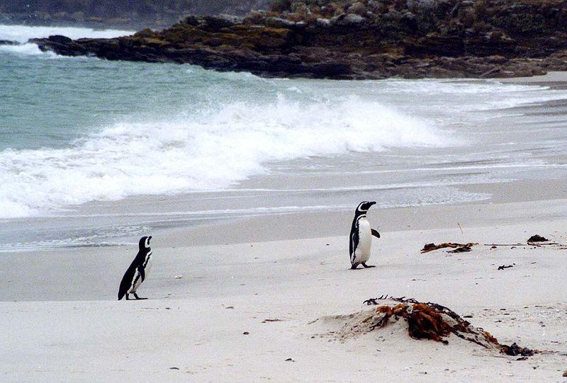 File:Spheniscus magellanicus on beach.jpg