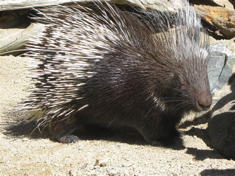 African Crested Porcupine   Branson's Wild World