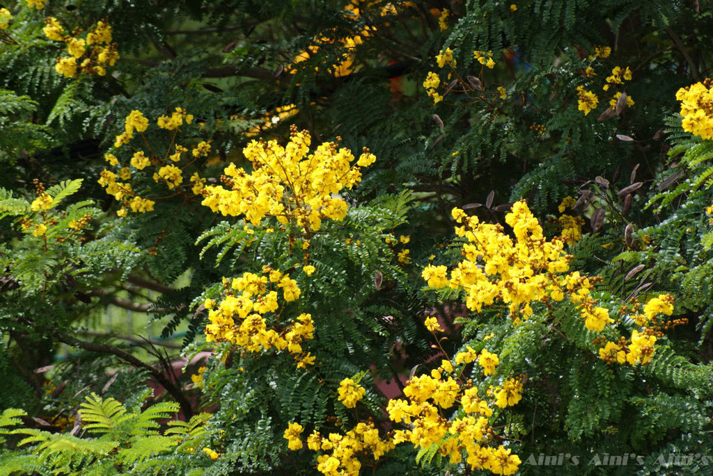 80+ Gambar Bunga Flamboyan Kuning Kekinian