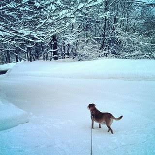 My snowbunny Sophie #dogstagram #Rescued #houndmix #ilovemydogs #snow #winterwonderland #adoptdontshop #happydog