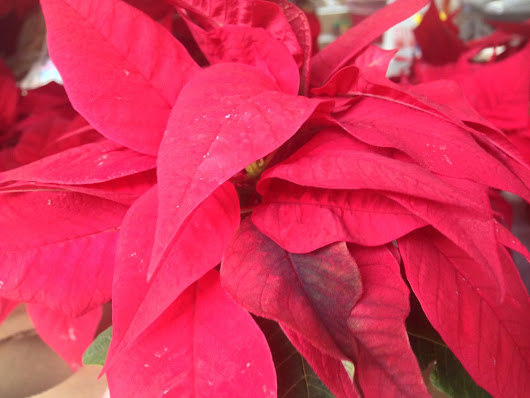 Poinsettas and other Christmas toxins
