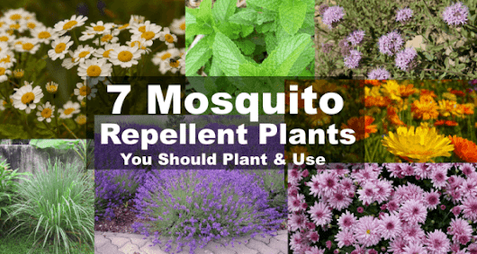 7 Mosquito Repellent Plants That Repel Mosquitoes 24/7
