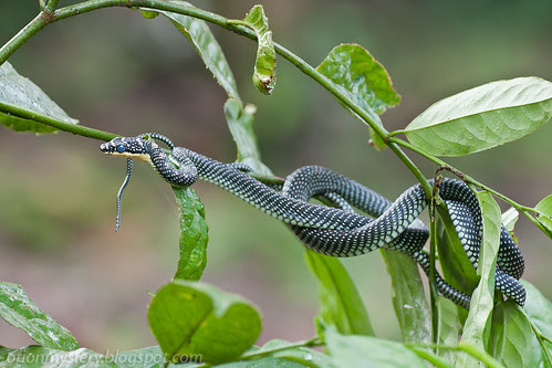 Paradise tree snake (<i>Chrysopelea paradisi</i>) IMG_9811 copy