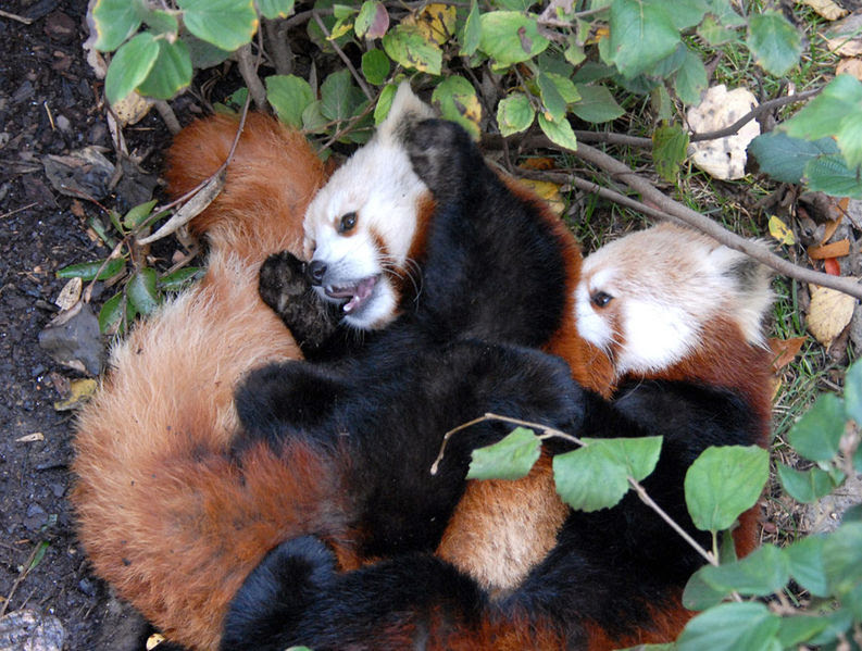 File:Red pandas playing.jpg