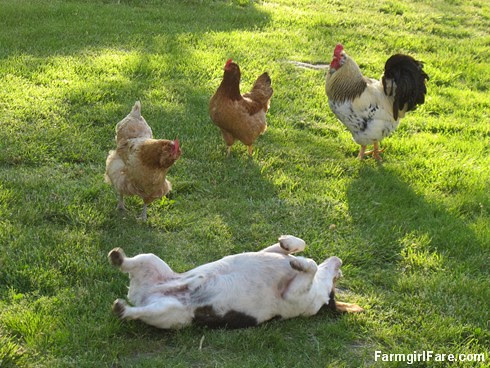Chickens checking out the rolling beagle - FarmgirlFare.com