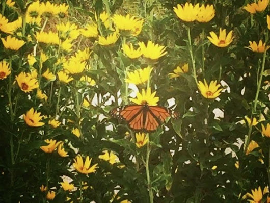 Monarch gardens give wings to classroom lessons in Denton