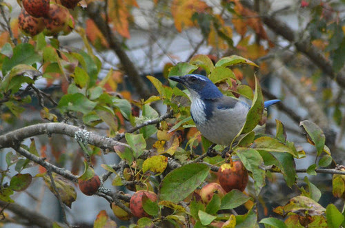 The Scrub-jay complex may become more complex