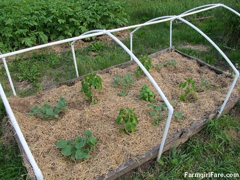 In the kitchen garden on 6-9-13 (5) - FarmgirlFare.com