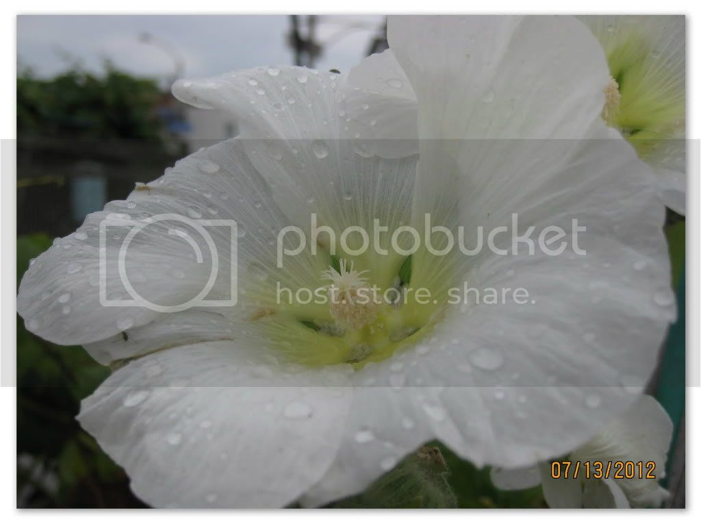hollyhock after the rain