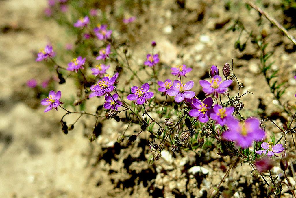 flores en la sierra de Guadarrama: fagonia cretica