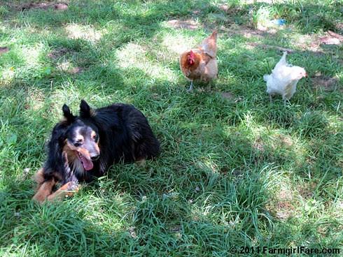 Lucky Buddy Bear on chicken alert - not. 2 FarmgirlFare.com
