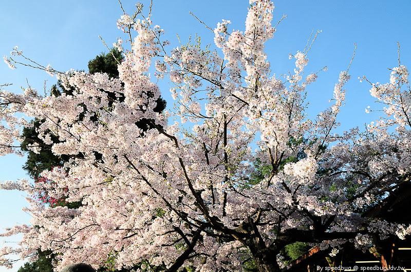 阿里山櫻花季17