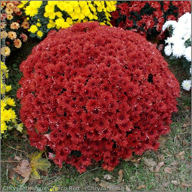 Chrysanthemum 'Ilvico Red' - Chryzantema 'Ilvico Red'