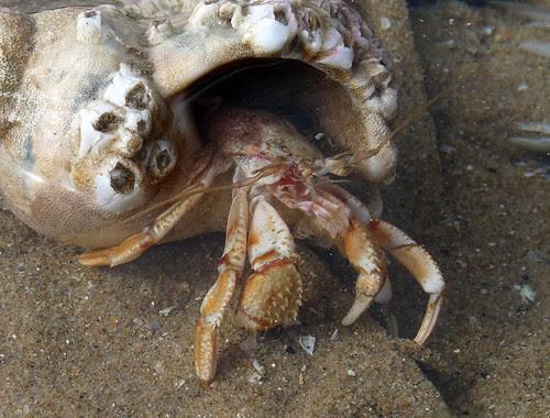 22326 - Hermit Crab, Rhossili, Gower