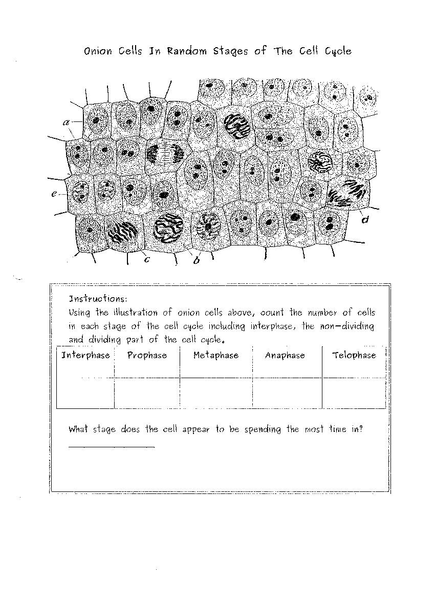 34 Onion Cell Mitosis Worksheet Answers - Worksheet ...