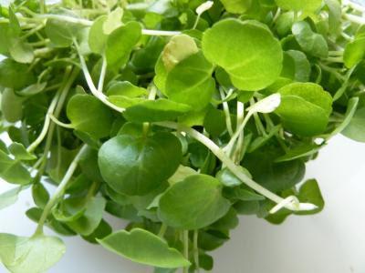 O agrião é uma planta indicada para tratar a tosse.
