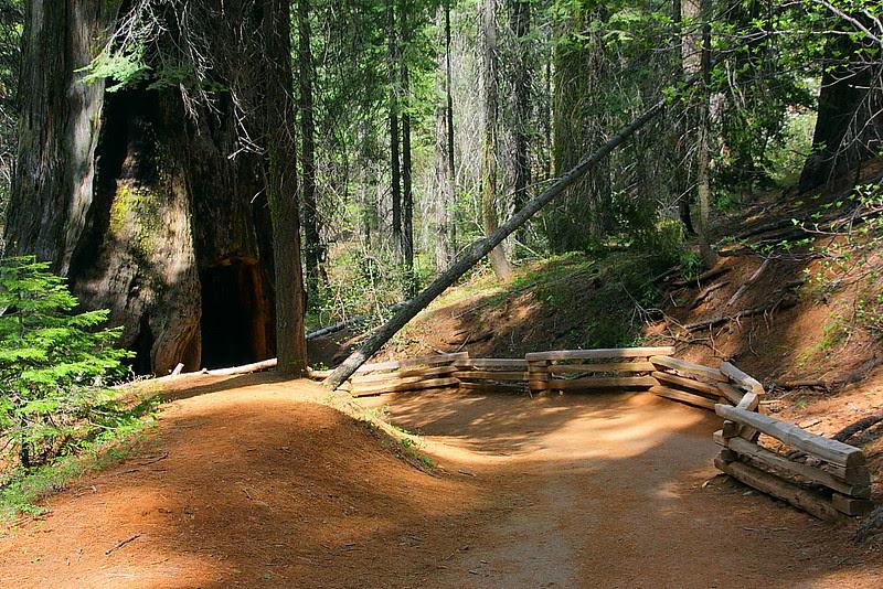 IMG_3561 Tuolumne Grove of Giant Sequoias