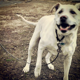 Action! Zeus chasing birds... Oh how he loves spring! #happydog #bigdog #dogstagram #love #labmix