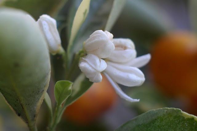 citrus flowers, july 2010